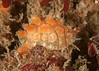 Coffeebean snail, Pusula solandri<br /> Golf Ball Reef; Palos Verdes