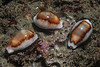 Chestnut cowries, Neobernaya spadicea, scraping up what they can from the barren reef.<br /> Golf Ball Reef, Palos Verdes, California