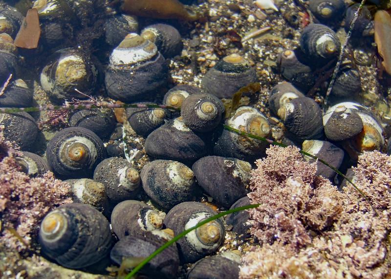 Black turban snail, (Tegula funebralis)