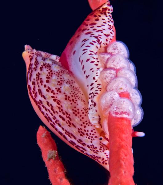 Simnia snail eggs,  Simnia arcuata