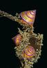 Bluering Topsnail - Calliostoma annulatum