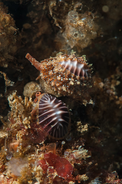 The other coffee bean snail, Pseudopusula californiana<br /> Biodome (Reef), Palos Verdes, California