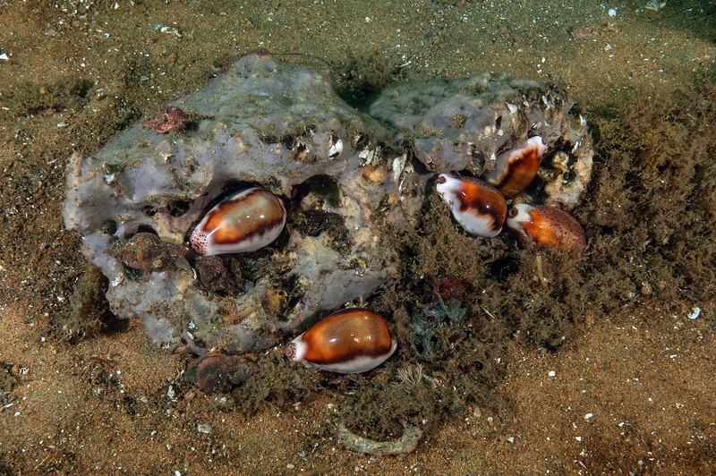 Chestnut cowries on gray moon sponge that was dislodged by a GSB.  <br /> Spongehenge, Hermosa Artificial Reef
