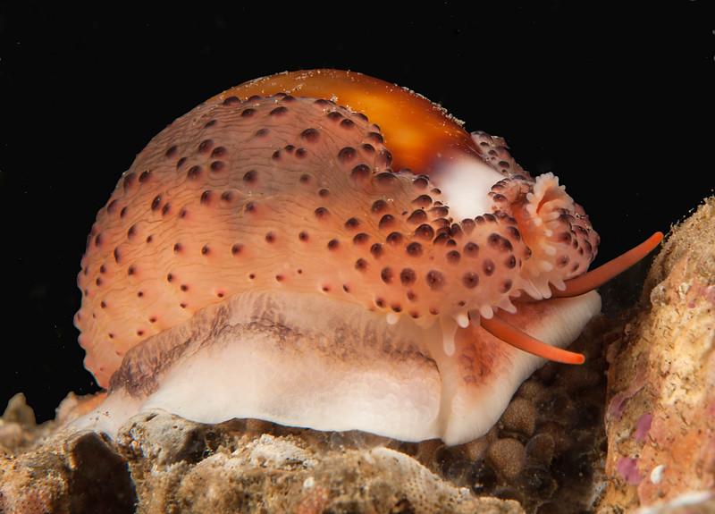 Chestnut cowry, Neobernaya spadicea, formerly Cypraea spadicea<br /> Golf Ball Reef, Palos Verdes, California