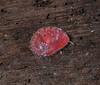 3 mm juvenile abalone