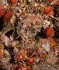 Appleseed Snail - Hespererato vitellina