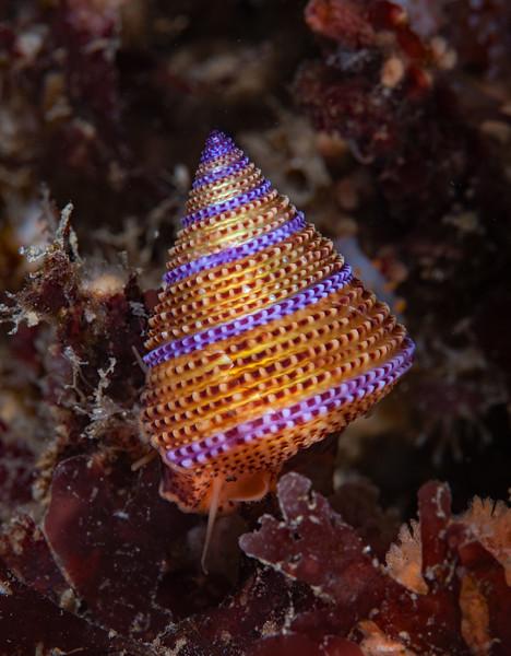 Blue-ring topsnail, <br /> Calliostoma annulatum<br /> Halfway Reef, Palos Verdes, California