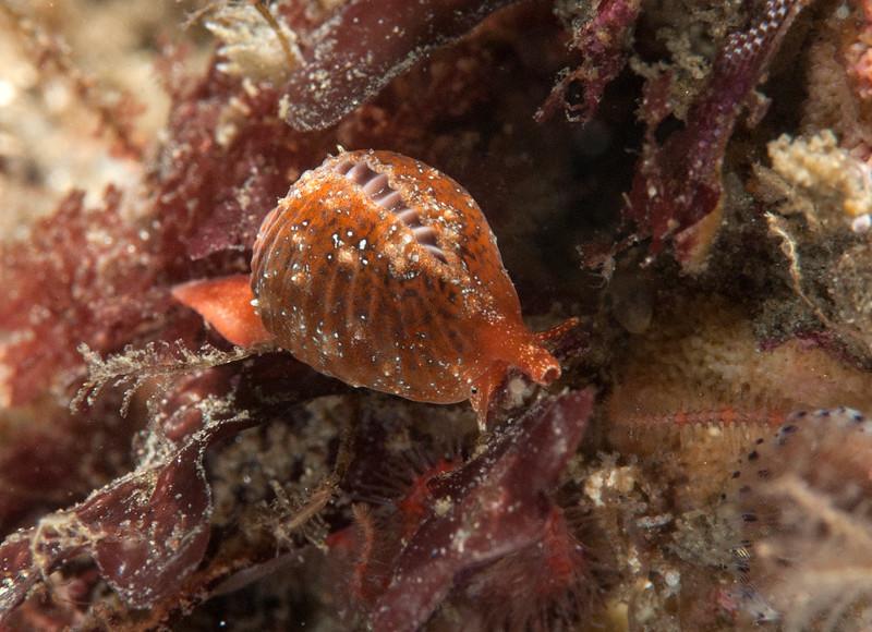 Coffee bean snail, Pseudopusula californiana<br /> Golf Ball Reef, Palos Verdes, California