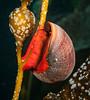 Norris Topsnail - Norrisia norrisii<br /> Merry's Reef, Palos Verdes, California