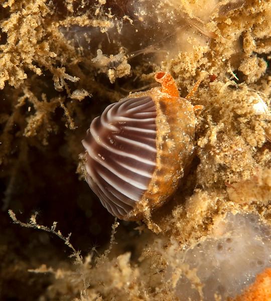 Coffee Bean Snail -  Pseudopusula californiana (formerly Trivia californica)