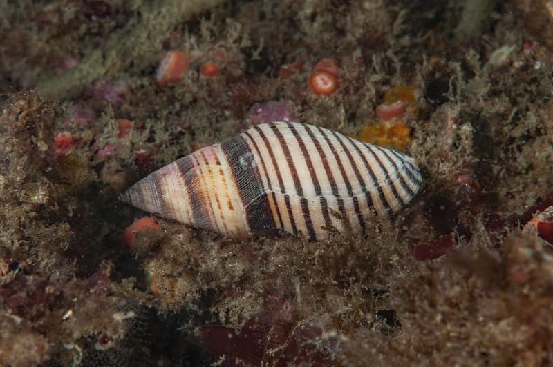 Stearns' turrid, Megasurcula stearnsiana <br /> Halfway Reef, Palos Verdes, California