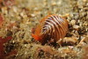 Coffee Bean Snail - Pseudopusula californiana (formerly Trivia californica)