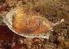 California Cone Snail - Conus californicus