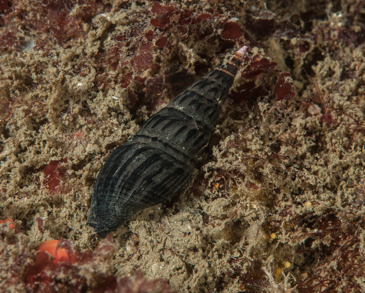 Snail, Crassispira semiinflata<br /> White Point Rock, San Pedro, Los Angeles County, California