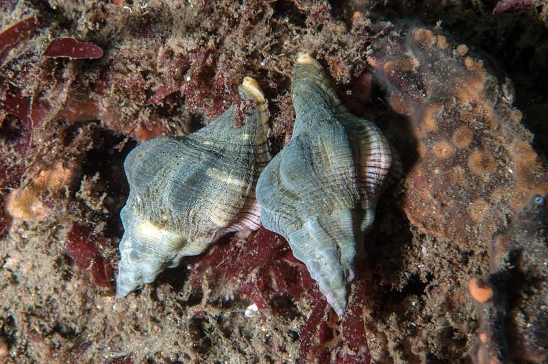Kellet's whelk, Kelletia kelletii<br /> Golf Ball Reef, Palos Verdes, California