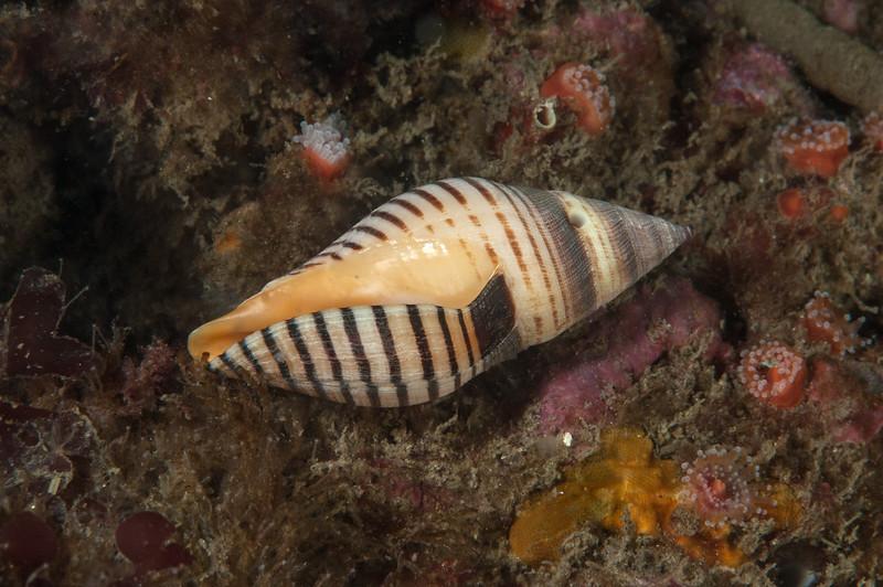 Stearns' turrid, Megasurcula stearnsiana, with a snail-drilled hole <br /> Halfway Reef, Palos Verdes, California