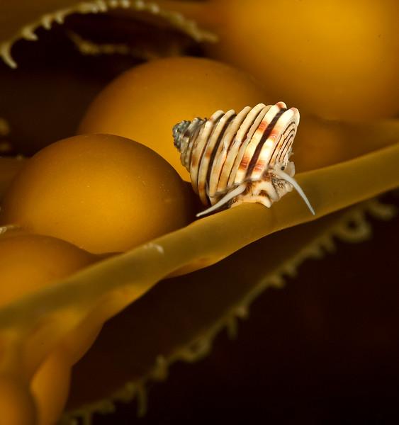 Channeled Topsnail - Calliostoma canaliculatum