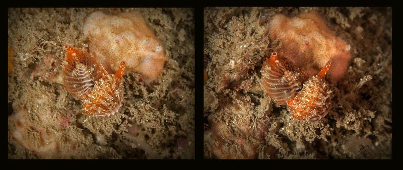 Mating snails: Pseudopusula californiana (formerly Trivia californica)<br /> Golf Ball Reef, Palos Verdes, California