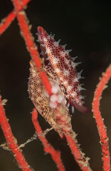 Simnia arcuata, formerly Delanovolva aequalis<br /> Garden Spot, Palos Verdes, California