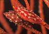 Simnia snail, Simnia arcuata