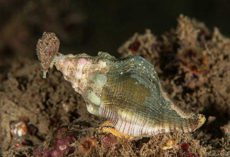 Kellet's whelk and California cone snail