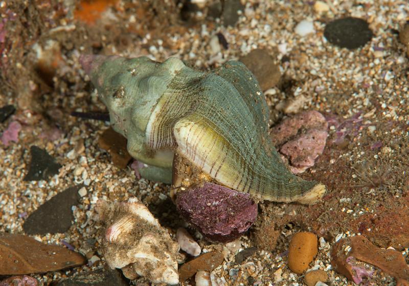Kellet's whelk preying on a turban or top snail
