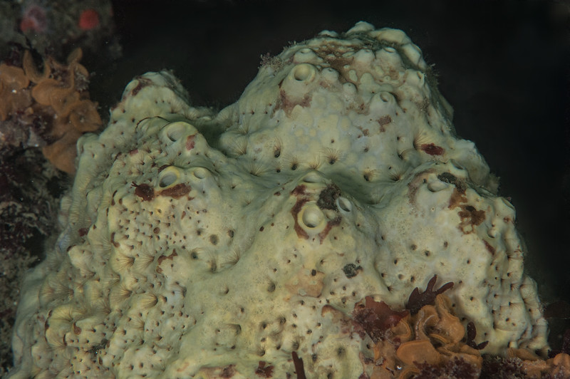 Gray moon sponge, Spheciospongia confoederata<br /> White Point Rock, San Pedro, California