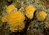 Order Haplosclerida, Class Demospongiae<br /> ID thanks to Tom Lee Turner<br /> <br /> Merry's Reef, Palos Verdes, California