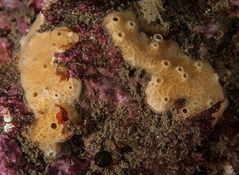 Sponge ID needed<br /> Avalon wreck, Palos Verdes, Los Angeles County, California