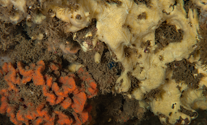 R: Sponge, Tentative ID Hamacantha hyaloderma <br /> ID thanks to Tom Lee Turner<br /> <br /> L: Red beard sponge, Clathria parthena <br /> Point Vicente Pinnacles, Palos Verdes, California