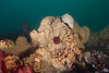 Gray moon sponge, Spheciospongia confoederata<br /> Hyperion 1-mile elevated outfall pipe, El Segundo, California
