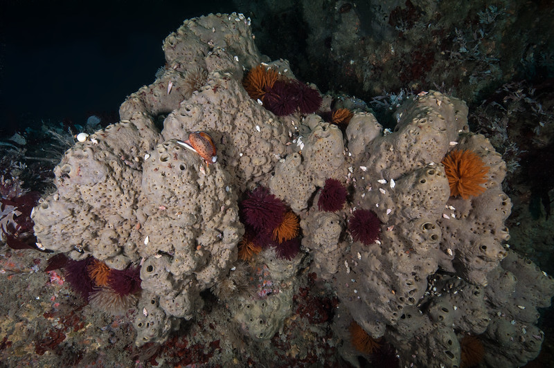 Gray moon sponge hosts hermit crabs, snails, featherduster worms and microcrustaceans.<br /> Hyperion 1-mile elevated outfall pipe, El Segundo, Los Angeles County, California.