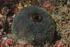 Gray puffball sponge, Craniella arb <br /> Kevin's Reef, Palos Verdes, California