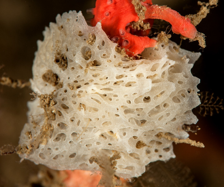 Lacy ball sponge, Leucosolenia eleanor<br /> Halfway Reef, Palos Verdes, California
