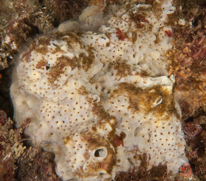 Gray moon sponge, Spheciospongia confoederata ?<br /> Kevin's Reef, Palos Verdes, California
