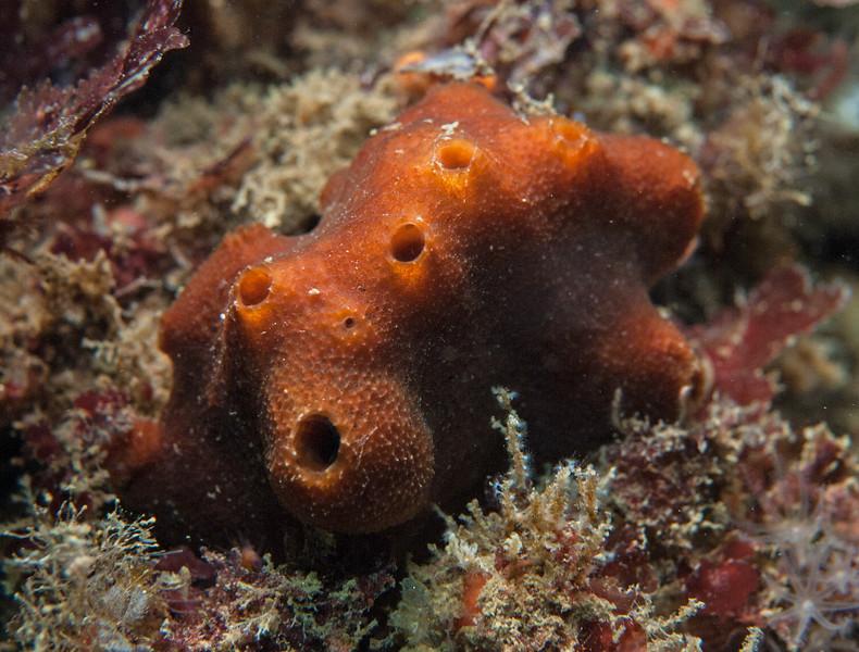 Trinda's sponge, Amphimedon trindanea<br /> Kevin's Reef, Palos Verdes, California<br /> <br /> ID thanks to Thomas Turner, Associate Professor, UCSB