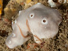 "Genus Penares, Class Demospongiae<br /> Comment by Tom Lee Turner:<br /> ""I have found individual colonies varying from dark gray to whitish, so this is probably also Penares.""<br /> <br /> Kevin's Reef, Palos Verdes, California"