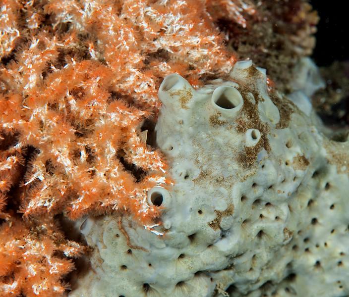 Gray moon sponge and Salmacina<br /> Kevin's Reef, Palos Verdes, California