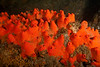 Red Volcano Sponge, Acarnus erithacus<br /> Resort Point Reef, Palos Verdes, California