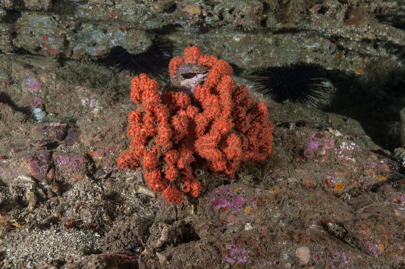 Sponge, Cyamon neon<br /> Resort Point Reef, Palos Verdes, California