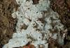 White tunicate, Didemnum albidum?
