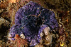Disporella separata <br /> Biodome, Palos Verdes, Los Angeles County, California