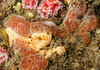 Two tunicates