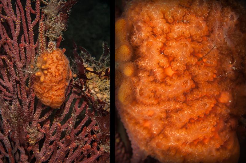 Tunicate, Botryllus schlosseri<br /> Torrance Reef, Los Angeles County, California