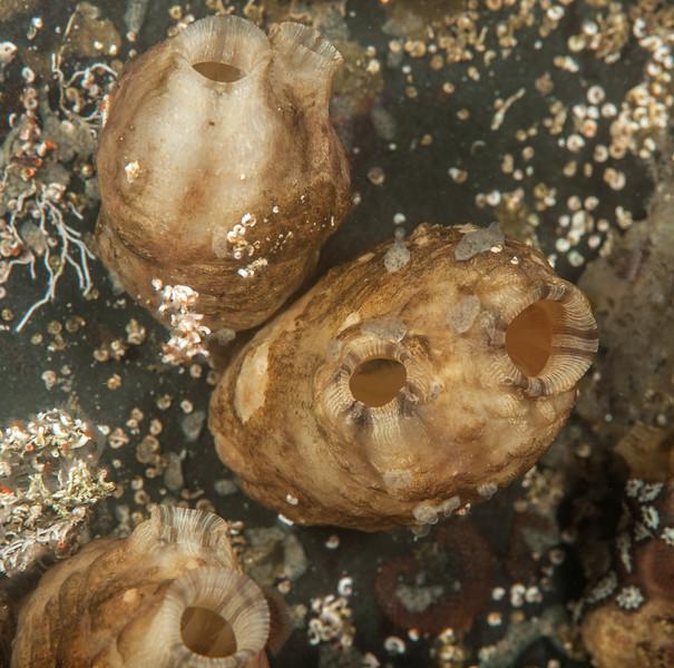 Club tunicate, Styela plicata<br /> Port Royal Marina, Redondo Beach, California