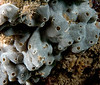 Tunicate ID needed