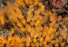 Pycnoclavella stanleyi<br /> Little Reef, Palos Verdes, California