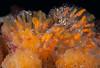 Tunicates Reproducing