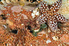 Phyllodoce worm<br /> Barge, Redondo Beach, California