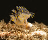 Protula worm<br /> Golf Ball Reef, Palos Verdes, California